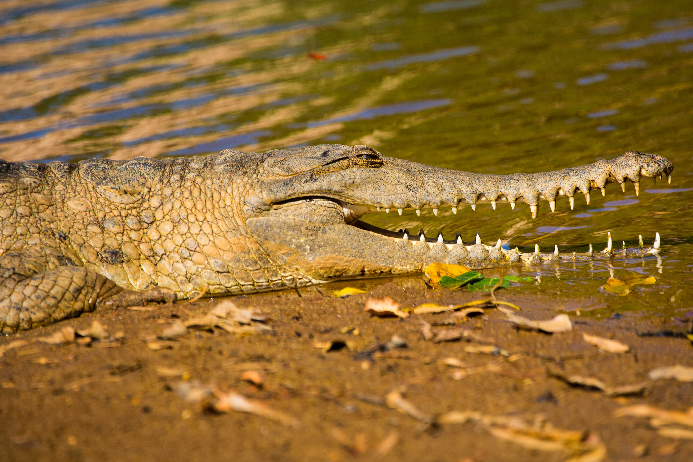 Windjana Krokodil